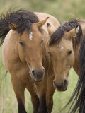 Mustang / Wild Horse Mare and Stallion Bothered by Flies in Summer, Montana, USA Pryor Prints by Carol Walker