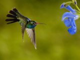 Broad-Billed Hummingbird, Male Feeding on Garden Flowers, USA Photographie par Dave Watts