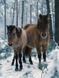 Domestic Horse, Dulmen Ponies, Mare with Foal in Winter, Europe Prints by  Reinhard