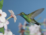 Broad Billed Hummingbird, Male Feeding on Nicotiana Flower, Arizona, USA Poster by Rolf Nussbaumer