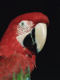 Green Winged Macaw Premium Photographic Print by Lynn M. Stone