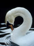 Mute Swan Male Preening, UK Posters par Simon King