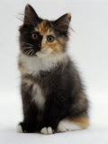Domestic Cat, 9-Week Non-Pedigree Longhair Tortoiseshell-And-White Kitten Photographic Print by Jane Burton
