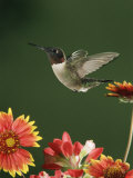 Ruby Throated Hummingbird, Male Flying, Texas, USA Posters by Rolf Nussbaumer