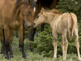 Mustang / Wild Horse Filly Nosing Stallion, Montana, USA Pryor Mountains Hma Print by Carol Walker