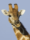 Giraffe, Male Head Portrait, Namibia Photographic Print by Tony Heald