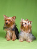 Dogs, Two Yorkshire Terriers Photographic Print by  Reinhard