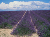 Lavender Field in Flower, Provence, France (Lavendula Angustifolia) Photographic Print by  Reinhard