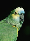 Blue Fronted Amazon Parrot Photographic Print by Lynn M. Stone