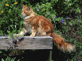 Domestic Cat, Maine Coon Breed, Maine, USA Photographic Print by Lynn M. Stone