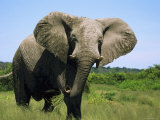 African Elephant Grazing, Chobe National Park Botswana Photographic Print by Tony Heald