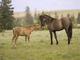 Mustang / Wild Horse Filly Touching Nose of Mare from Another Band, Montana, USA Photographic Print by Carol Walker