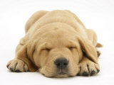Domestic Labrador Puppy (Canis Familiaris) Sleeping Prints by Jane Burton