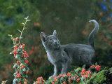 Black Domestic Cat Kitten on Garden Wall with Black Jaguar/Leopard Shadow in Background, UK Prints by Jane Burton