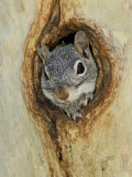 Arizona Grey Squirrel, Ilooking out of Hole in Sycamore Tree, Arizona, USA Fotografisk tryk af Rolf Nussbaumer