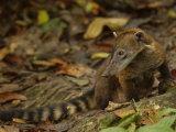 Southern Coati, Amazonia, Ecuador Photographic Print by Pete Oxford