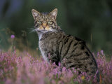 Wild Cat Portrait Amongst Heather, Cairngorms National Park, Scotland, UK Photographic Print by Pete Cairns
