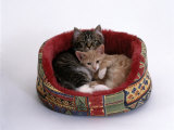 Domestic Cat, Two Kittens in Oval Bed Posters by Jane Burton