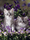 Domestic Cat, 8-Week, Two Fluffy Silver Tabby Kittens Amongst Winter-Flowering Pansies Photo by Jane Burton