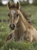 Mustang / Wild Horse Colt Foal Resting Portrait, Montana, USA Pryor Mountains Hma Premium Photographic Print by Carol Walker
