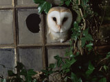 Barn Owl, Peering out of Broken Window, UK Fotoprint van Jane Burton