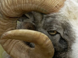 Close-Up of Gotland Sheep, Ram's Horn, Sweden Poster by Staffan Widstrand