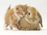 Domestic Kitten (Felis Catus) Next to Bunny, Domestic Rabbit Affiches par Jane Burton