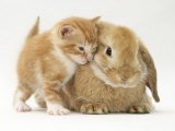 Domestic Kitten (Felis Catus) Next to Bunny, Domestic Rabbit Photographic Print by Jane Burton