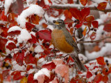 American Robin, Female Feeding in Black Hawthorn, Grand Teton National Park, Wyoming, USA Photographic Print by Rolf Nussbaumer