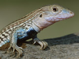 Texas Spotted Whiptail Lizard, Male, Texas, USA Posters par Rolf Nussbaumer