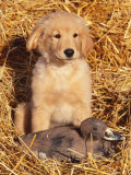 Golden Retriever Puppy with Decoy Duck, USA Posters by Lynn M. Stone