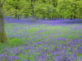 Bluebells Flowering in Beech Wood Perthshire, Scotland, UK Posters by Pete Cairns