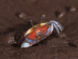 Fiddler Crab, Busuanga Island, Philippines Photographic Print by Jurgen Freund