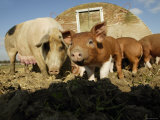 Free Range Organic Pig Sow with Piglets, Wiltshire, UK Photographic Print by T.j. Rich