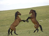 Mustang / Wild Horse, Two Stallions Fighting, Montana, USA Pryor Mountains Hma Print by Carol Walker