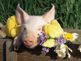 Mixed Breed Domestic Piglet, USA Prints by Lynn M. Stone