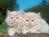 Two Persian Cats, Kittens (Felis Catus) Photographic Print by  Reinhard