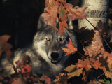 Grey Wolf Portrait with Autumn Leaves, USA Photographic Print by Lynn M. Stone