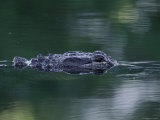 American Alligator Submerged, Sanibel Is, Florida, USA Photographic Print by Rolf Nussbaumer