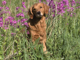 Golden Retriever Amongst Meadow Flowers, USA Lámina fotográfica por Lynn M. Stone