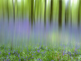 Bluebells in Beech Wood Abstract, Scotland, UK Premium Photographic Print by Pete Cairns