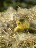Day-Old Canada Gosling Chick in Nest, Wiltshire, UK Photographic Print by T.j. Rich