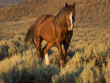 Mustang / Wild Horse, Chestnut Stallion Walking, Wyoming, USA Adobe Town Hma Premium Photographic Print by Carol Walker