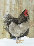 Blue Orpington Domestic Chicken, in Snow, USA Photographic Print by Lynn M. Stone