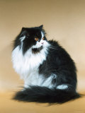 Persian Domestic Cat, Bi-Colored Poster by  Reinhard