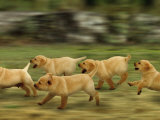 Domestic Dogs, Labrador Puppies Running Poster by Jane Burton