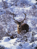 Red Deer Stag, Amongst Snow-Covered Birch Regeneration, Scotland, UK Poster par Niall Benvie