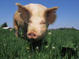 Domestic Pig Portrait, USA Photo by Lynn M. Stone