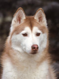 Siberian Husky Portrait, USA Photographic Print by Lynn M. Stone
