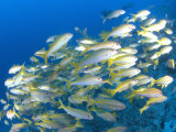 Schooling Bigeye Snappers, Great Barrier Reef, Australia Premium Photographic Print by Jurgen Freund